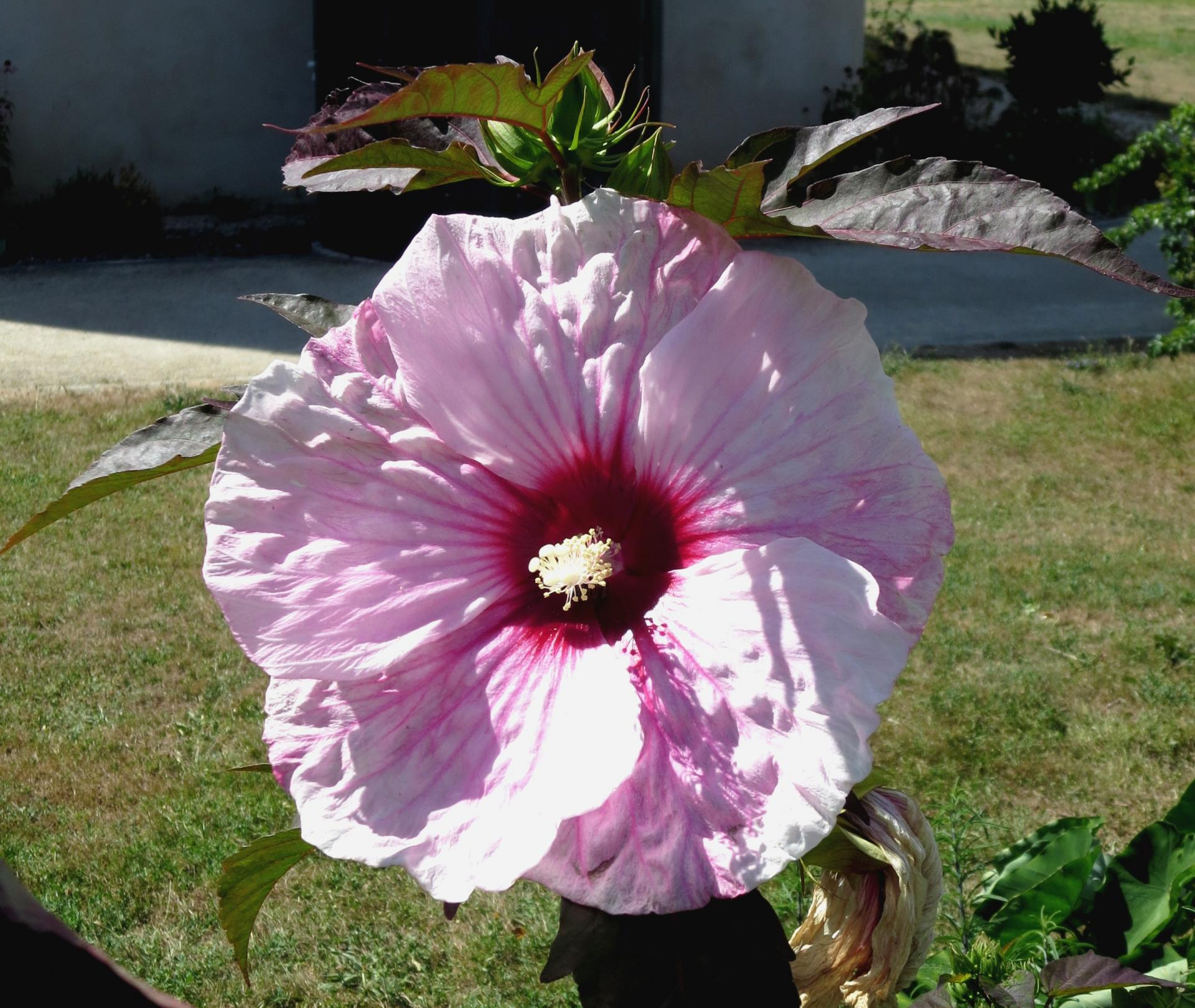 fleurgéante